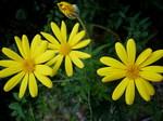 ユリオプスデージー 花